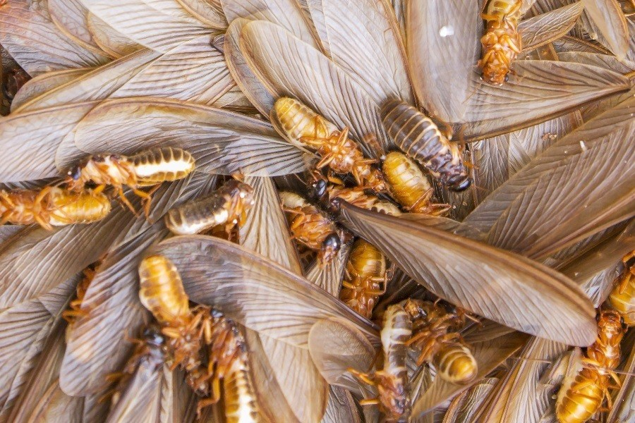 Flying Termites Featured